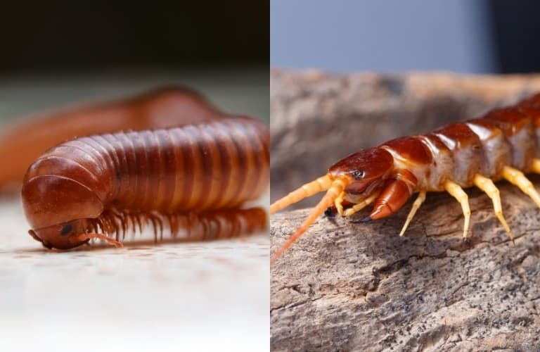 A divided image with a millipede on the left and a centipede on the right.