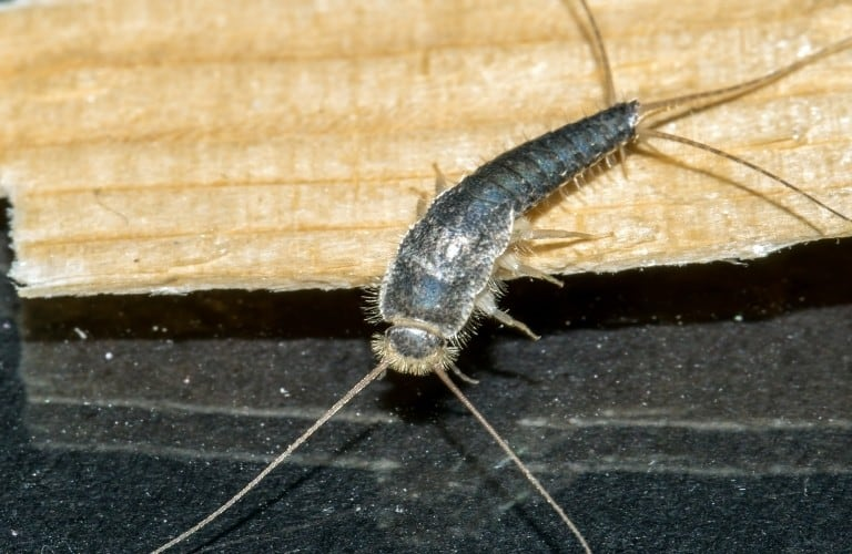 A large silverfish climbing off of a piece of wood onto a black floor.