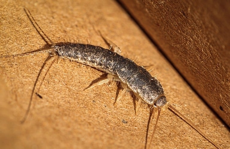 A silverfish moving along the floor next to the baseboard.