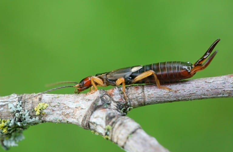 A common, or European, earwig on a small branch.