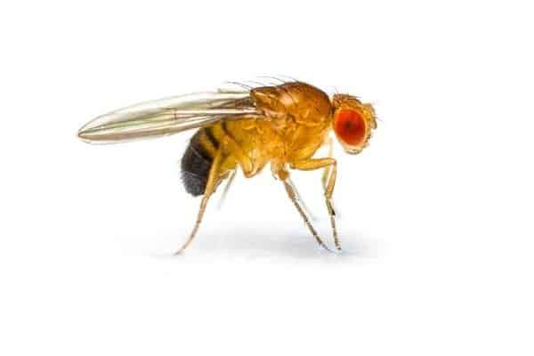 A common fruit fly on a white background.