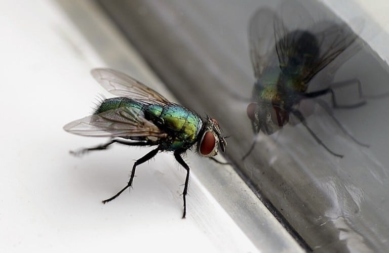 A house fly on a window sill with its reflection seen in the window.