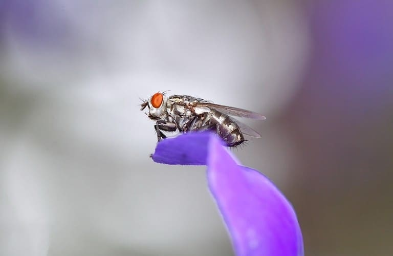 A house fly perched atop a purple flower petal.