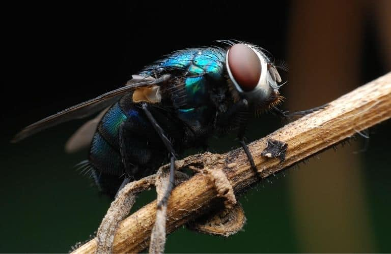 Common house fly sitting on a twig