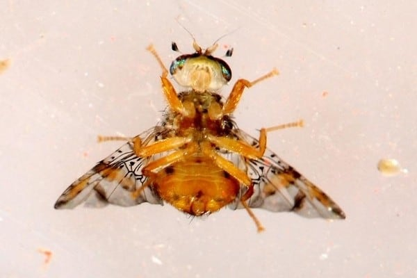 Ventral view of a Mediterranean fruit fly.