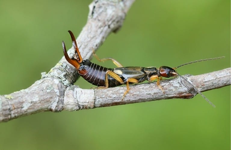 An earwig sitting in the fork of a small branch.