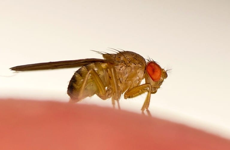 A common fruit fly on an orange object.