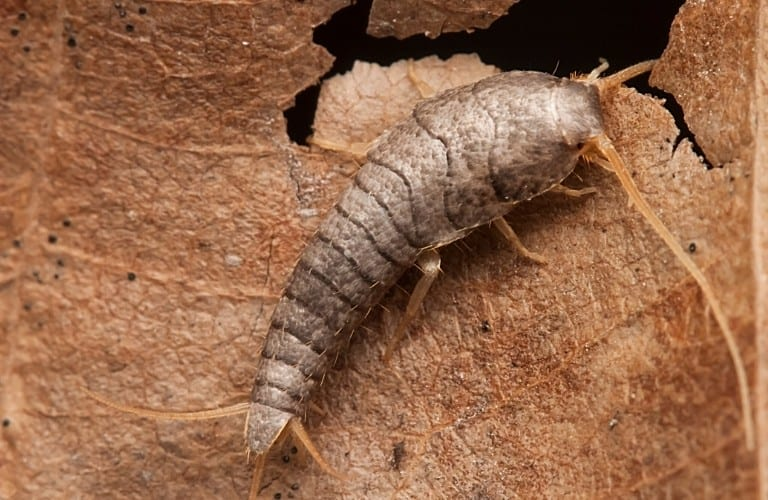 A silverfish munching on a brown leaf.