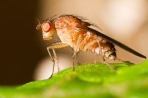 An closeup of a fruit fly perched on a leaf.