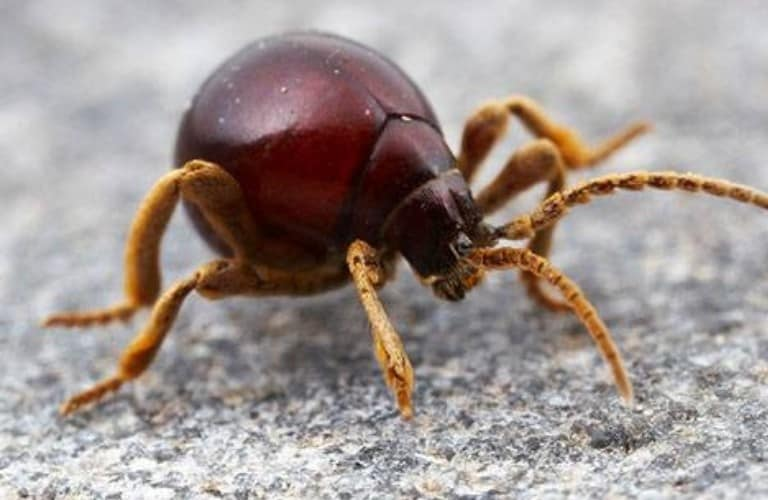 An American Spider Beetle walking on concrete.