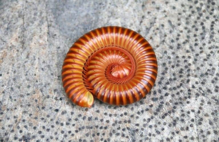 An orange millipede curled up on a rock.