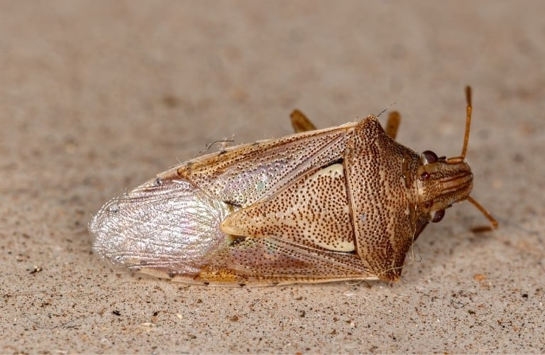 A dead stink bug lying on its side.