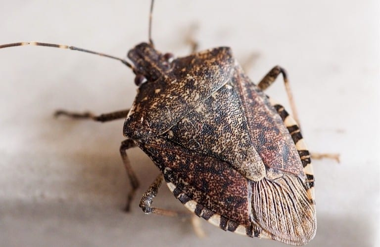 An up-close view of the invasive brown marmorated stink bug.