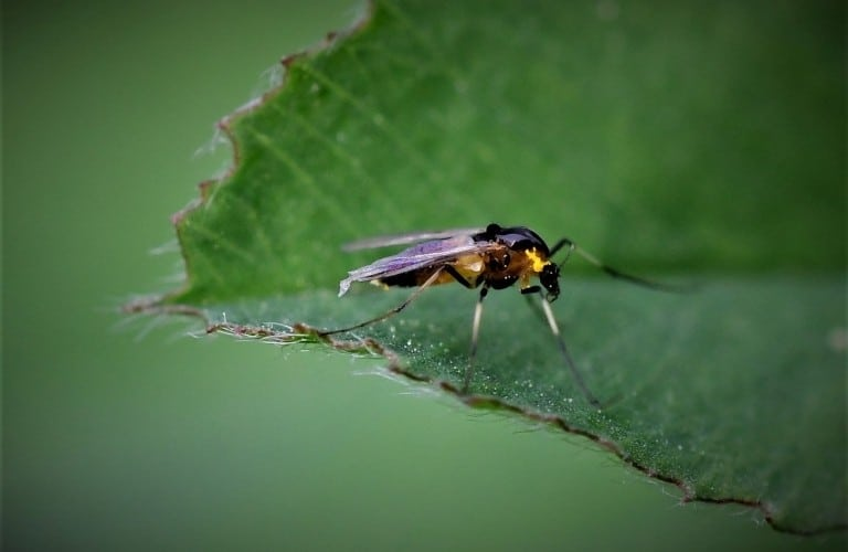 An adult gnat investigating a green leaf.
