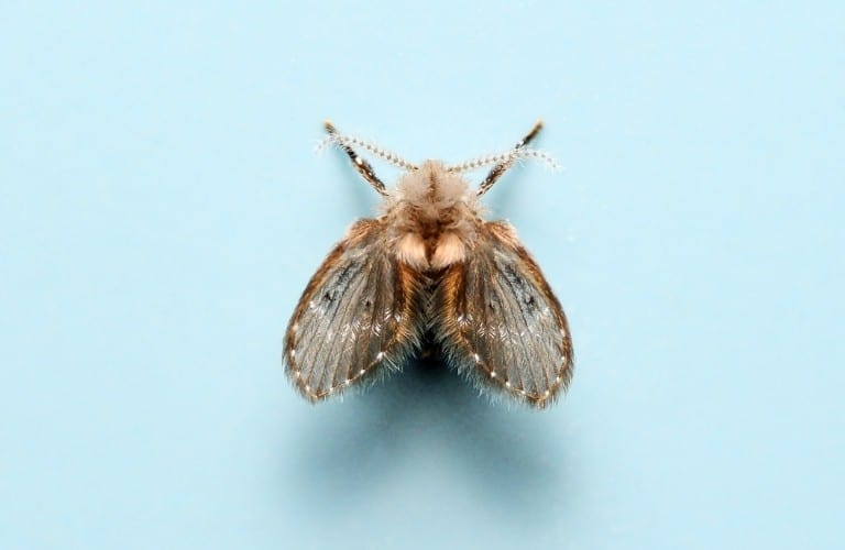 A drain fly on a light blue background.