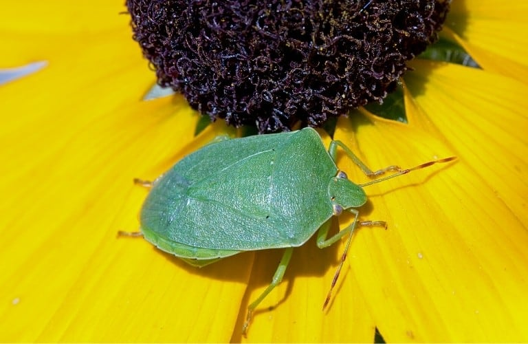 A southern green stink bug perched on a yellow sunflower.