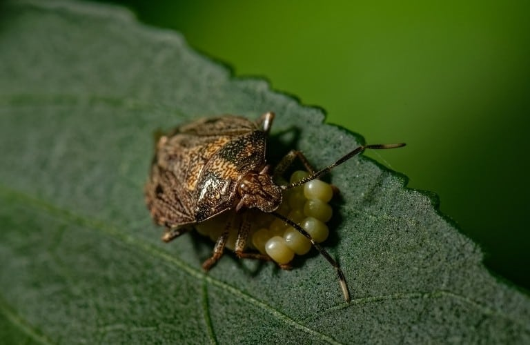 A female stink bug hunched over a cluster of eggs.