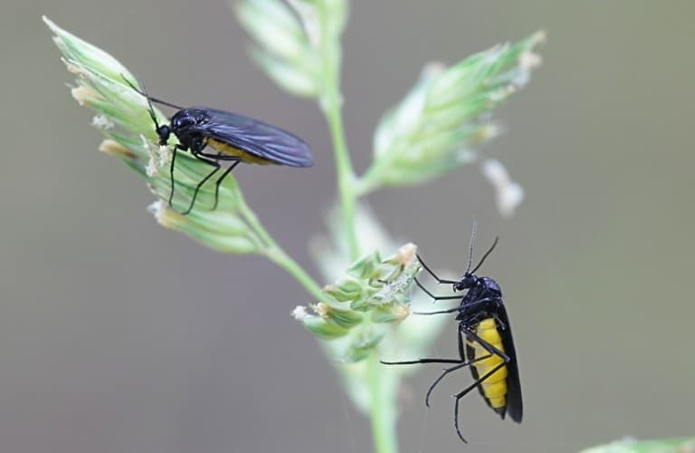 Two black gnats with yellow bellies on a plant.