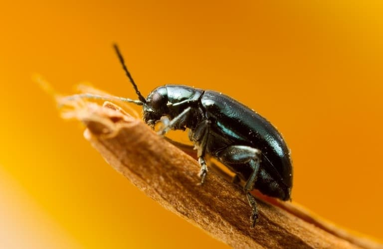 A flea beetle perched on the end of a stick against an orange background.