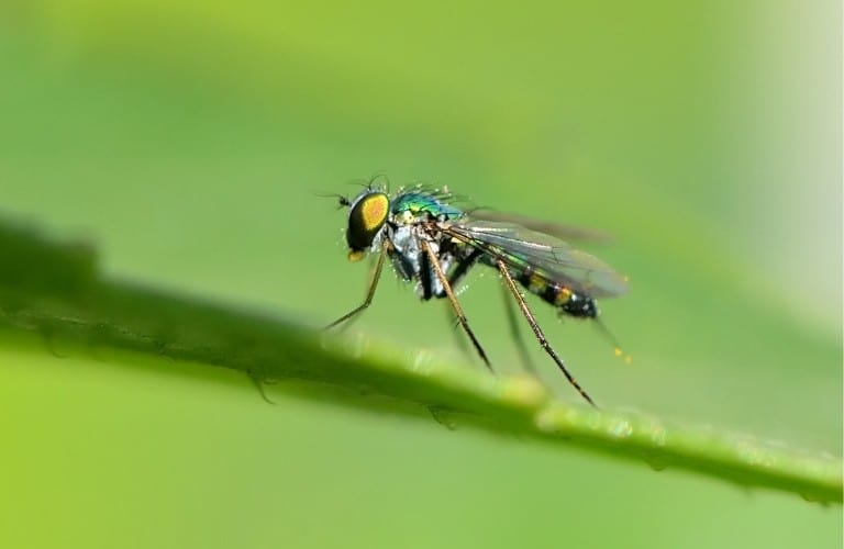 A fungus gnat on a leaf with a green background.
