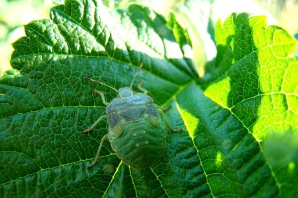 A green stink bug on a leaf moving toward the sunlight.
