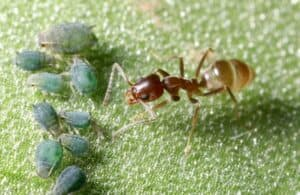 An Argentine ant approaching a group of aphids.