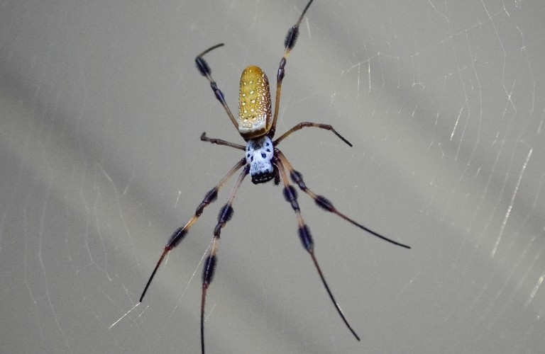 A banana spider in the middle of her web set against a gray background.
