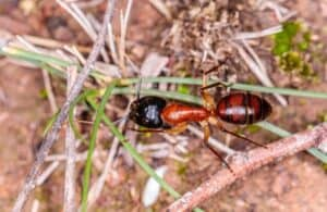 A banded sugar ant walking over small twigs outside.