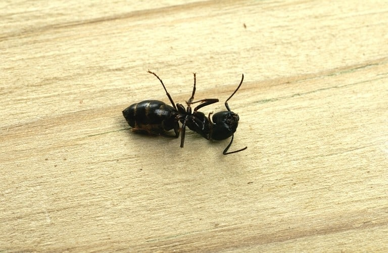 A dead black ant on a piece of plywood.