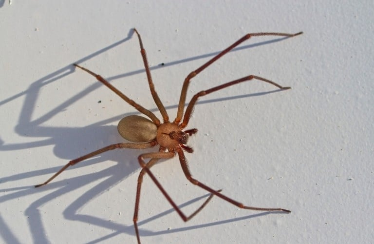 A brown recluse spider casting a creepy shadow against a white surface.