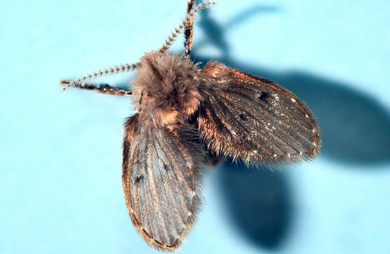 A drain fly with shimmering gold highlights on its wings.