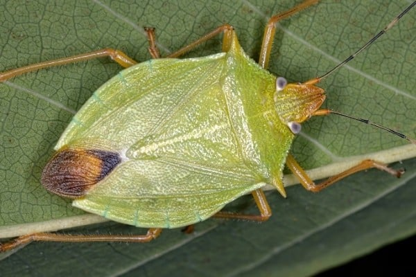An up-close view of a green stink bug on the underside of a leaf.
