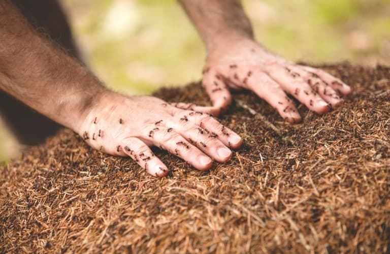 Ants crawling all over a man's hands as he rests them on an ant mound.
