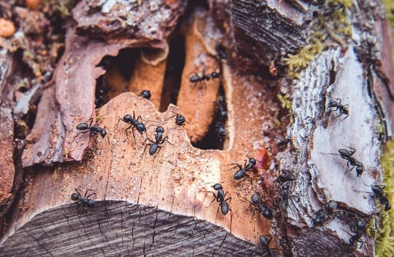Black ants scurrying all over a downed tree with damaged bark.