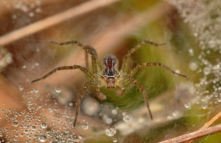 A spider in its web surrounded by water droplets.