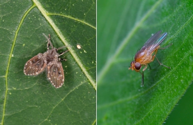 On the left, a drain fly on a dark green leaf, and on the right, a fruit fly on a light green leaf.