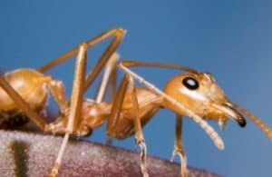 A close-up look at a European fire ant against a dark blue background.