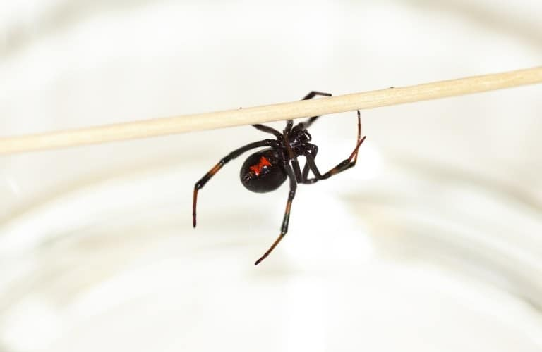 A female black widow spider hanging onto a thin dowel rod.