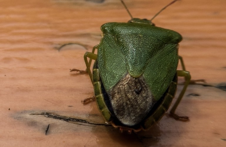 A green shield bug on a water-damaged wood table.
