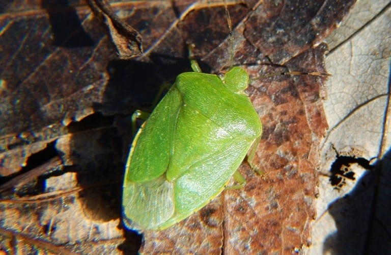 A green stink bug on decaying, brown leaves..