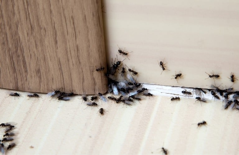 A group of black ants crawling along a baseboard, on the floor, and up a wall.