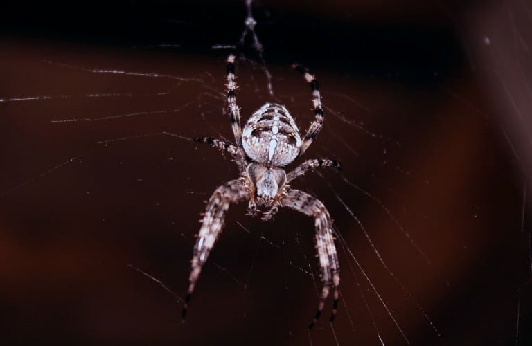 A brown, white, and beige spider on a web with a burgundy background.