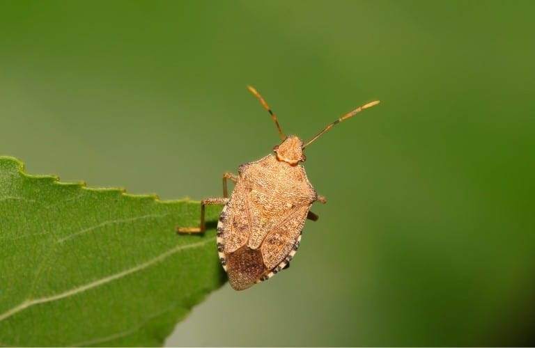 A light brown stink bug on the tip of a serrated leaf.