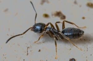 An odorous house ant crawling along a dirty, white surface.