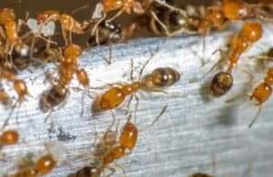 A large number of light brown Pharaoh ants.
