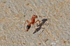 A red ant with specks of sand on its head walking on concrete.