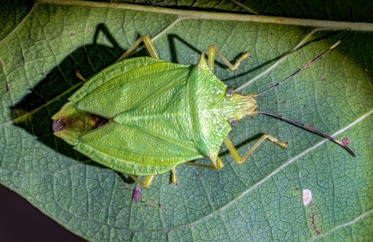 A green spiny shield bug on the underside of a leaf.