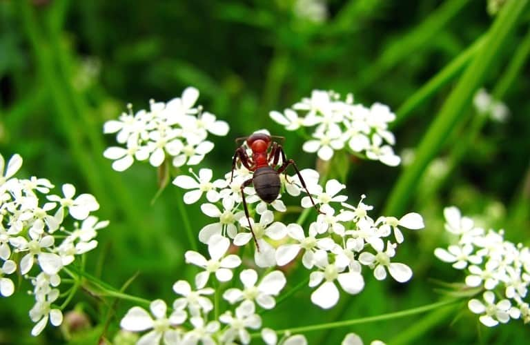 A red and black ant on tiny, white flowers.