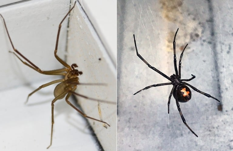 On the left, a brown recluse crawling up a baseboard. On the right, a female black widow on her web.