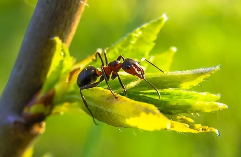 An ant on newly sprouted leaves of a young tree.